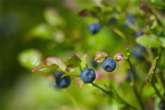 Heidelbeeren als Wegzehrung