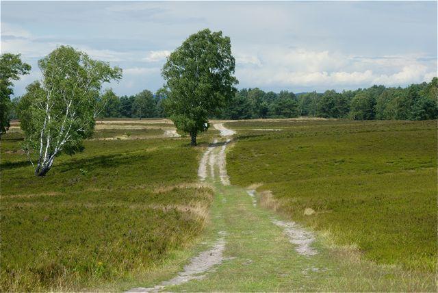 Heidefläche mit Birken