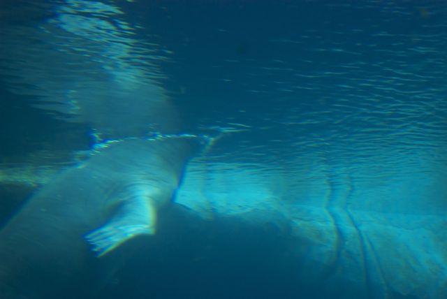 Walroß