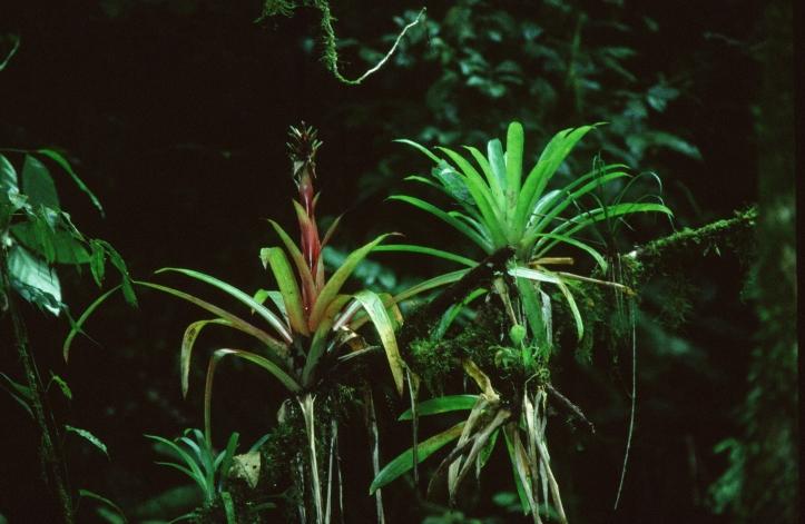verschiedene Epiphyten, vereint auf einem Ast