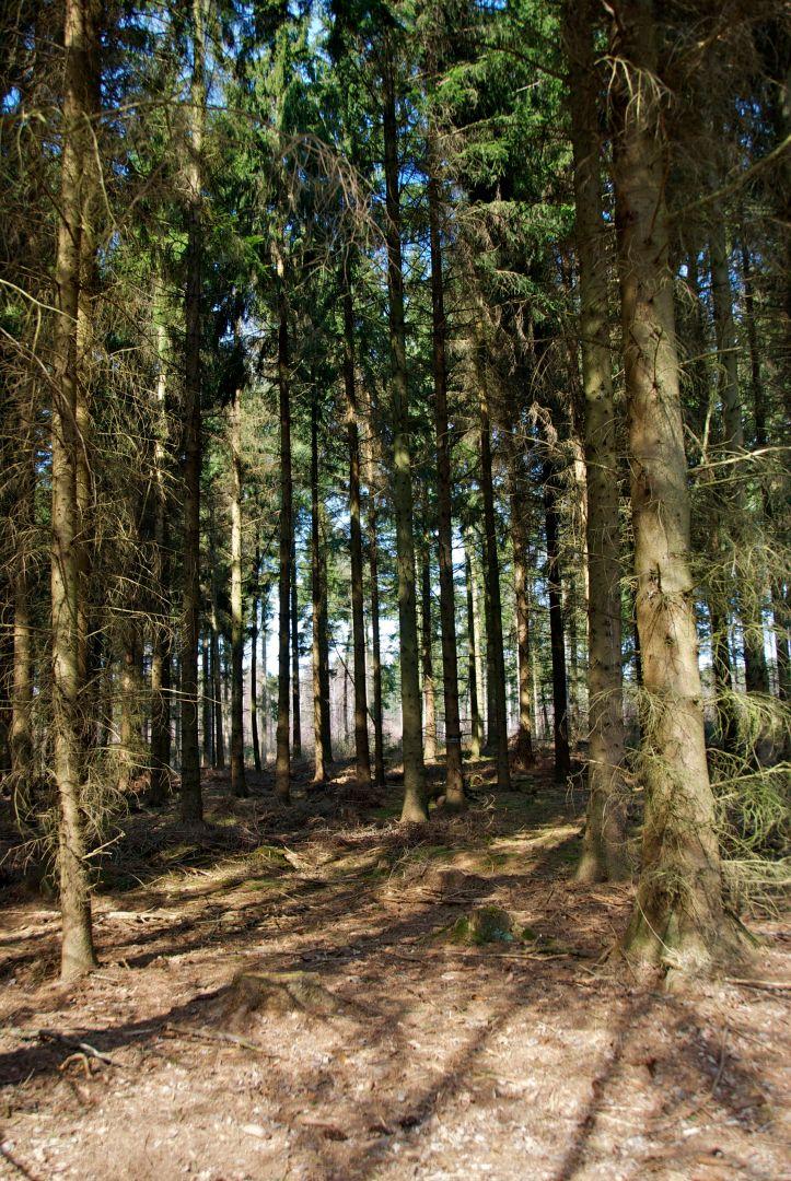Willst Du den Wald vernichten, pflanze Fichten