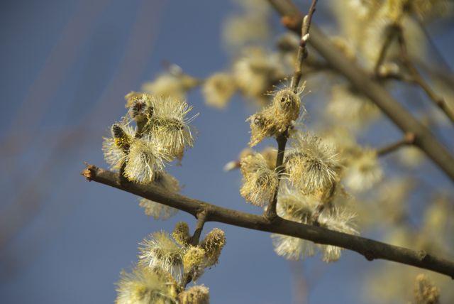 Weidenkätzchen, erstes Futter für Insekten.