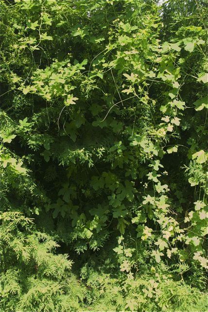 Thujahecke mit Schlingpflanze