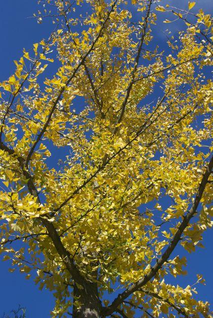 Gingko ganz gelb