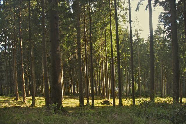 Im windgeschützten Fichtenwald ist es doch ganz angenehm.