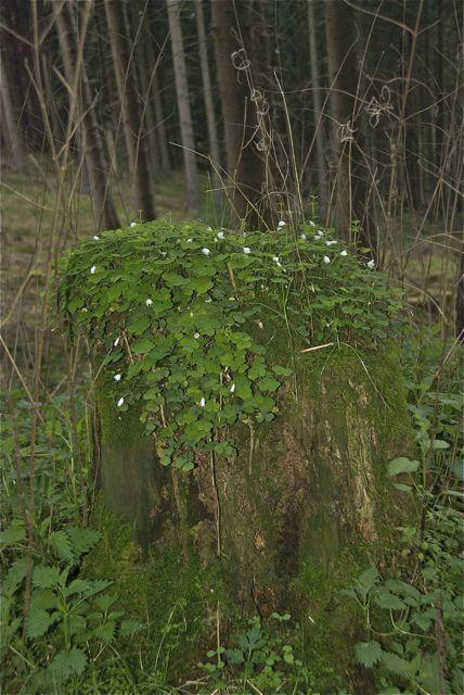 Und der Baumstumpf trägt ein Mützchen aus Sauerklee.