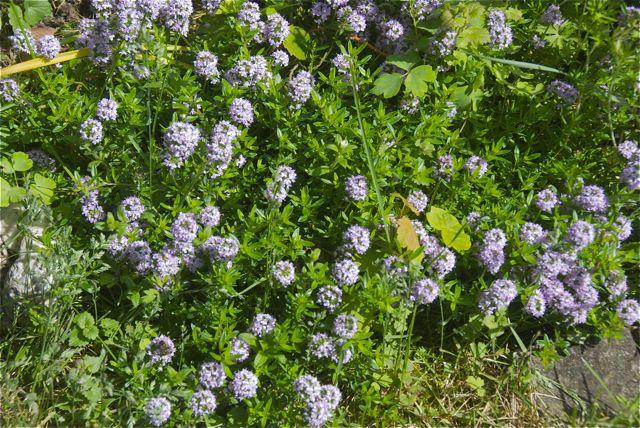 Thymian von der Mieterin, gepflanzt 2013