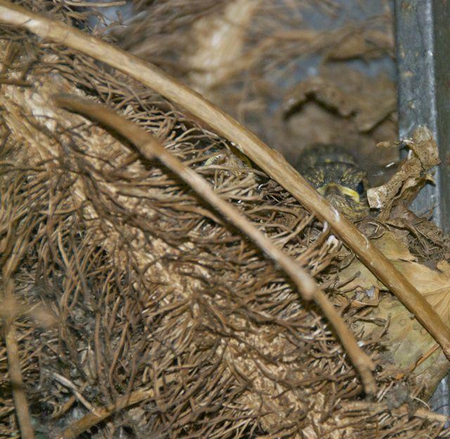Rotkehlchen, gestern noch im Nest.