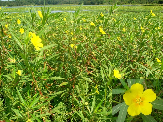 Großblütiges_Heusenkraut_Ludwigia_grandiflora_Bestand_Alain_Dutartre_300