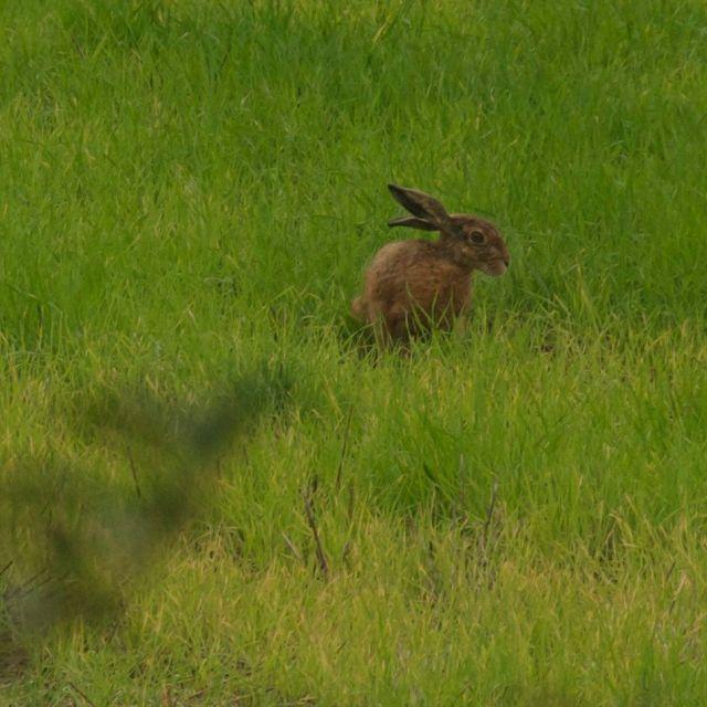 Feldhase, kein Kaninchen