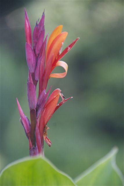 Canna Blüte