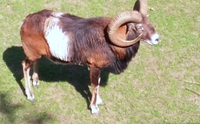 Mufflon
