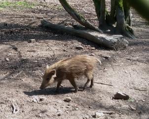schwein 1