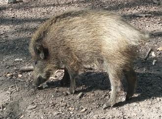 Schwein2