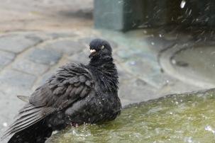 Tauben-Dusche